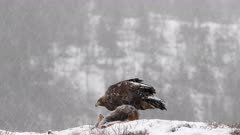Golden Eagle (Aquila chrysaetos) feeding on Red Fox  (Vulpes vulpes) while snowing heavily