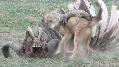 Two Black-backed Jackal (Canis mesomelas) fighting around a Buffalo carcass.