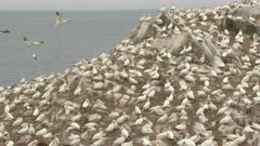 Northern Gannet (Morus bassanus) colony, breeding on cliff overlooking the Ocean.