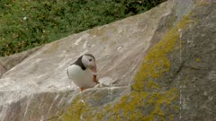 Atlantic Puffin (Fratercula arctica)  on a cliff at the Atlantic Ocean, at Saltee Island, Ireland.