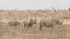 Black Rhinocerus ((Diceros bicornis) three standing together.