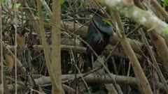 Rarely seen Agami Heron (Agamia agami) perched between twigs, trying to hide, Pantanal, Brazil.