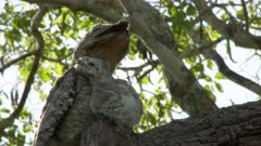 Great Potoo (Nyctibius grandis) protecting chick from sun while sitting camouflaged on a branch, in Pantanal wetlands, Brazil.