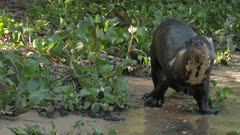 Giant river otter (Pteronura brasiliensis) walking on riverbank in search of food, going in the water in the Pantanal wetlands, Brazil.