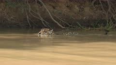 Jaguar (Panthera onca) close-up, swimming, hunting along riverbank, in the Pantanal wetlands, Brazil