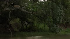 Jaguar (Panthera onca) on a branch, stalking Capybara in the river, in the Pantanal wetlands, Brazil