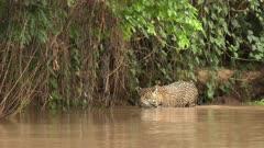Jaguar (Panthera onca) stalking while wading through the river, in the Pantanal wetlands, Brazil
