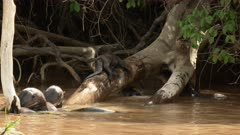 Giant river otter (Pteronura brasiliensis) family playing around branch in the Pantanal wetlands, Brazil.