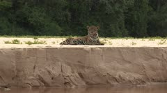 Jaguar (Panthera onca) lying on riverbank, in the Pantanal wetlands, Brazil.