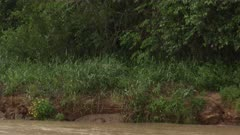 Jaguar (Panthera onca)  walking on riverbank while heavily raining in the Pantanal wetlands, Brazil.