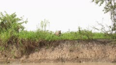 Jaguar (Panthera onca)  walking on riverbank in the Pantanal wetlands, Brazil.