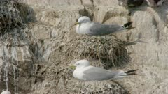 Black-legged Kittiwake (Rissa tridactyla) on rock nesting, cleaning feathers