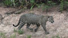 Jaguar (Panthera onca) hunting along riverbank, in the Pantanal wetlands, Brazil