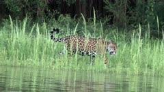 Jaguar _Panthera onca) walking on riverbank,  in the Pantanal wetlands, Brazil.