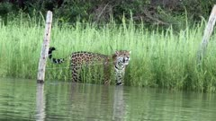 Jaguar _Panthera onca) walking on riverbank, crawls under a fence in the Pantanal wetlands, Brazil.
