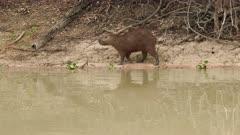 Capybara (Hydrochoerus hydrochaeris) family on Pixaim riverbank, Pantanal, Mato grosso