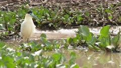 Capped heron ( Pilherodius pileatus) hunting between water hyacinth, Pantanal wetlands, Brazil.