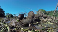 Low angle close-up view of a Capybara family on a floating island of reeds in the Pantanal river, Brazil.