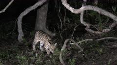 Ocelot (Leopardus pardalis) at night  climbing in a tree, Pantanal wetlands, Brazil.
