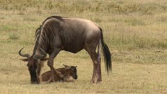 Blue Wildebeest (Connochaetes taurinus)  female grazing and lying down with her newborn calf besides her, afterbirth still attached.