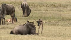 Blue Wildebeest (Connochaetes taurinus)  newborn calf standing up and walking away from its mother