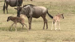 Blue Wildebeest (Connochaetes taurinus)  newborn calf wandering off from its mother towards others, female sniffs at it.r