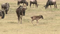 Blue Wildebeest (Connochaetes taurinus)  newborn calf running around in search for its mother