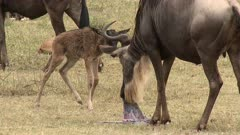 Blue Wildebeest (Connochaetes taurinus)  newborn calf finding its mother who is eating the placenta