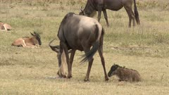 Blue Wildebeest (Connochaetes taurinus)  female eating the placenta while her newborn calf is lying behind her