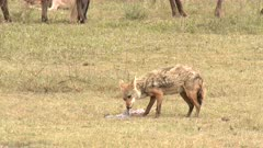 Black-backed Jackal (Canis mesomelas) scavenging and starts eating from a placenta