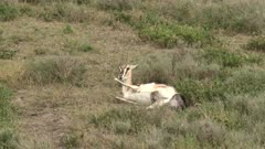 Grant's gazelle (Nanger granti) giving birth, calf's head is coming out