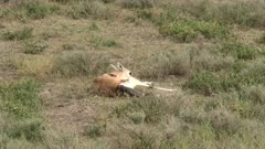 Grant's gazelle (Nanger granti) giving birth, calf is halfway out