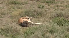 Grant's gazelle (Nanger granti) giving birth, calf is almost out