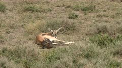Grant's gazelle (Nanger granti) giving birth, calf is almost out, twisting and turning to come out