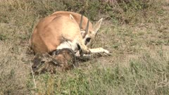 Grant's gazelle (Nanger granti) giving birth, calf almost out, mother is licking the calf