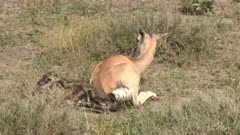 Grant's gazelle (Nanger granti) giving birth, calf completely out.
