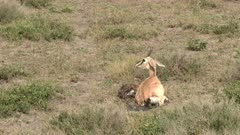 Grant's gazelle (Nanger granti) female just gave birth and running away from calf because of Hyeana is near
