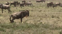 Blue Wildebeest (Connochaetes taurinus)  female  having contractions and pushing, calf legs coming out and amniotic fluid still attached. She lies down