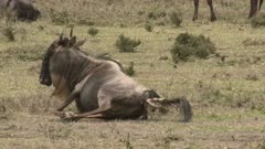 Blue Wildebeest (Connochaetes taurinus)  female  giving birth and pushing, calf legs coming out, she stands up.