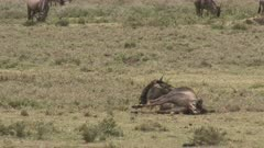 Blue Wildebeest (Connochaetes taurinus)  female  giving birth and pushing, calf legs and nose coming out, and sticking tongue out.