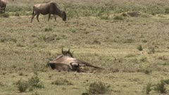 Blue Wildebeest (Connochaetes taurinus)  female  giving birth and pushing, calf's nose  coming out.