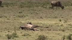 Blue Wildebeest (Connochaetes taurinus)  female  giving birth and pushing, calf is halfway out.