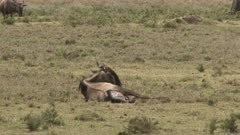 Blue Wildebeest (Connochaetes taurinus)  female  giving birth and pushing, calf is almost completely out.