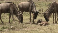Blue Wildebeest (Connochaetes taurinus)  newborn calf lying on the ground trying to stand up, mother standing next to it and others sniffing curiously