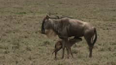 Blue Wildebeest (Connochaetes taurinus)  newborn calf nursing at mother and tumbling down