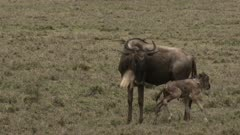 Blue Wildebeest (Connochaetes taurinus)  newborn calf wobbling around mother.