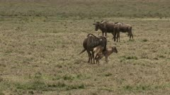 Blue Wildebeest (Connochaetes taurinus)  newborn calf defecate for the first time and starts running unstable around mother