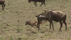 Blue Wildebeest (Connochaetes taurinus)  female licking her newborn calf.