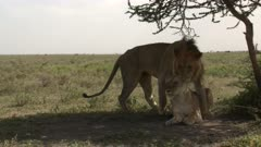 Lions (Panthera leo) couple mating in the shade of an Acacia tree