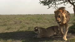Lions (Panthera leo) couple mating, Wildebeest migration walking in the background